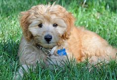 via the daily puppy  Puppy Breed: Golden Retriever / Poodle  My name is Teddy and I am 11 weeks young. I love saying hi to everyone and snuggling with my family. My brother and sisters say I chew a lot of socks but they are just so delicious! Sometimes my eyes are lost behind all of my fluffy fur. I also love taking strolls to Starbucks and greeting all of the people enjoying their drinks!