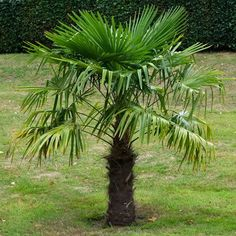 Trachycarpus fortunei. Chinese Windmill Palm Tree. one of the best known cold hardy, fast growing palm trees