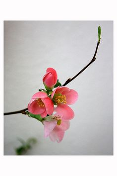 #cherry blossom #flower #spring