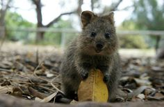 The Quokka!