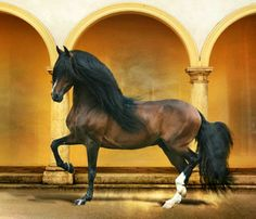 The Paso Fino is prized for its natural four-beat ambling gait, which makes for an extremely smooth and comfortable ride with minimal up and down motion. Most Beautiful Animals, Beautiful Horses, Beautiful Creatures, Horse Photos, Horse Pictures, Campolina, Andalusian Horse, Friesian Horse, Arabian Horses