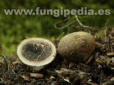 Elaphomyces granulatus es un hongo del orden Plectascales también conocido como Elaphomyces cervinus, Criadilla de ciervo, basahuntz-boilur... ver más información.