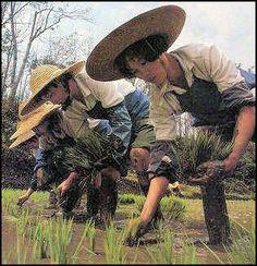 20080316-agri-rice-planting nolls.jpg