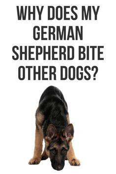 German Shepherd Barking, German Shepherd Facts, Long Haired German Shepherd, Female German Shepherd, German Shepherd Training, German Shepherds, German Shepherd Information, Puppy Teething, Protective Dogs