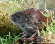 Northern Red-Backed Vole | Northern Red-backed Vole, Clethrionomys rutilus