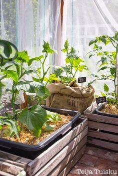 Kanelia ja kardemummaa: kasvihuone Green Fruit, Fruit And Veg, Green Life, Conservatory, Garden Inspiration, Shed, New Homes, Glass Houses, Home And Garden