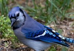 blue jay - Bing Images