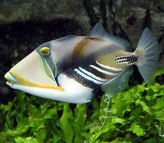 Google Image Result for http://www.hanauma-bay-hawaii.com/Picasso_triggerfish_wikiPD.jpg