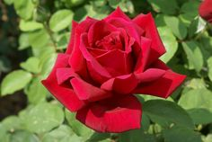 Avon   Ludwigs Roses: Large, shapely buds & blooms; crimson to velvet-red in colour. Bushy, prolific & healthy growing. Powerful fragrance. The slight drooping of the heavy blooms becomes an advantage on a standard stem.