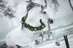 It's beginning to look a lot like Christmas ❄️❄️❄️ . Pretty Horses, Horse Love, Beautiful Horses, Animals Beautiful, Horse Photos, Horse Pictures, Christmas Horses, Horse Costumes, Andalusian Horse
