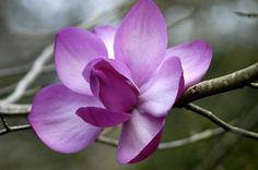 ... unknown magnolia in woodland south of Yichang in Western Hubei, China.