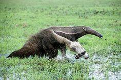 Giant Anteater -Venezuela