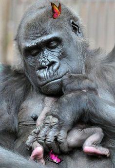 Gorilla surprises everyone with secret pregnancy - and her baby is the cutest Congratulations, Shinda! #weirdanimals #animalsactivities<br>