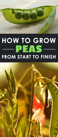 Learning how to grow peas is one of the best things you can do as a gardener. These versatile, delicious veggies are huge producers and extremely healthy.