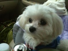 Pupppy cut