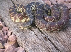 another bullsnake (Pituophis catenifer sayi)