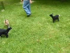 Imgur: The most awesome images on the Internet.... This would be my dog if she was a goat