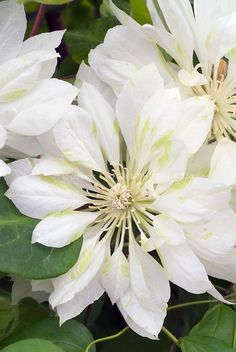 Clematis 'Yukiokoshi' climbing vine with yellow and green flowers White Clematis, Clematis Flower, Clematis Vine, Flowering Vine Plants, Summer Flowering Bulbs, Climbing Flowers, Climbing Vines, White Flower Farm, White Flowers