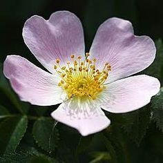 Dog Rose (Rosa canina) 30 40cms Bare Root 1yr old (10 LD) pack of 25