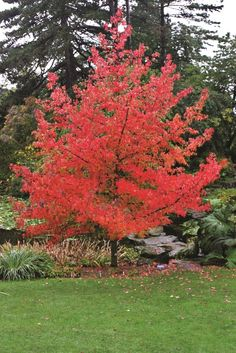 Liquidambar styraciflua Lane Roberts. Liquidambars offer one of the best autumn colours a tree can give. This variety also doesn't grow quite as large as Worplesdon or straight styraciflua http://www.barchampro.co.uk/trees-for-sale/buy-lane-roberts-liquidambar-styraciflua-lane-roberts