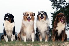 4 colors of the Australian Shepherd dog / Black Tri Color - Red Merle - Blue Merle - Red Tri color