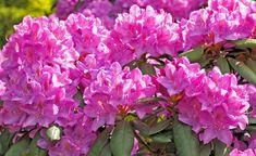 So düngen Sie Ihren Rhododendron