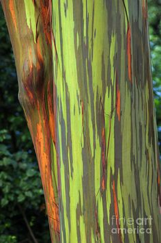 Rainbow Gum Tree Hawaii. See them on the Road to Hana, Maui, Hawaii.