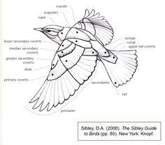 Bird Wing Diagram