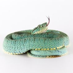 Bothrops bilineatus smaragdinus is also known as the two-striped forest pit viper. Peru.