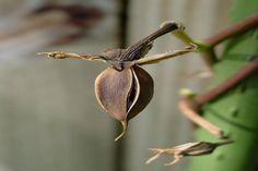 Collecting Moonflower Seeds for Next Season | DoItYourself.com