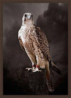 Saker Hunting Falcon I - Tariq Dajani - Bilder, Fotografie, Foto Kunst online bei LUMAS
