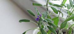 O úžasných vlastnostech aromatických rostlin by se dalo vyprávět celé hodiny. Dají se zavařit, vdechovat a dokonce i použít k vnitřnímu užívání. Ukázalo se, že mnohé rostliny odkrývají své nejužitečnější vlastnosti ve vlhkém a teplém prostředí. Proč si tedy nenechat viset během koupele větvičku oblíbené bylinky? Pára, která vznikne při sprchování tomu všemu pomáhá. Aromatické … Cactus Plants, Cacti, Cactus