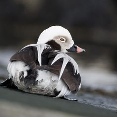 Long-tailed Duck (Old Squaw)