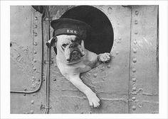 Venus, the Bulldog Mascot of the Destroyer HMS Vansittart - World War II - Dogs
