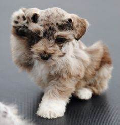 Sunny Patch Puppies in Delta, Colorado (CO) is your source for Merle Schnauzer Puppies, Miniature Schnauzer Puppies and more! Schnauzer Mix, Miniature Schnauzer Puppies, Cute Puppies, Cute Dogs, Dogs And Puppies, Doggies, Baby Animals, Cute Animals, Beautiful Dogs