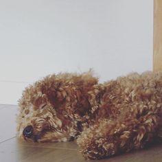 ♪ 午前中の蒸し暑い散歩が効き過ぎて、お疲れabby💦 ・ 帰宅後もドキドキ、ハァハァが長時間止まらなくて心配してしまった😖 ・ しばらく涼しくお部屋で寝かせてあげよう…😴 ・ ・ #toypoodle #dogstagram #dog #toypoodlelover #トイプードル #トイプードル部 #トイプードル愛犬 #トイプードル🐩 #トイプードル男の子 #トイプードル大好き #トイプードルレッド #トイプードルレッド男の子 #愛犬#といぷー #といぷーどる #といぷーどる愛好家 #愛犬#わんこ #わんこ部 #わんこ🐶 #わんこなしでは生きていけません会 #おさんぽ #お散歩 #おさんぽ