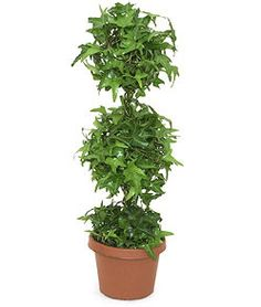 feng shui plant office. English Ivy (great For Allergies) Feng Shui Plant Office B
