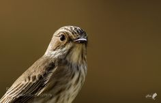 Spotted Flycatcher by ii_7atim_ii Animals Photography #InfluentialLime