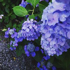もうすぐやってくる梅雨の季節。「雨ばかりで家から出たくない!」なんて思っていませんか?実は雨の日こそ美しさを増すのが「紫陽花(アジサイ)」なのです。そこで今回は楽天トラベルが発表した、梅雨の時期にこそ訪れたい、雨が似合う「紫陽花の名所」をご紹介。梅雨のおでかけはここで決まり!