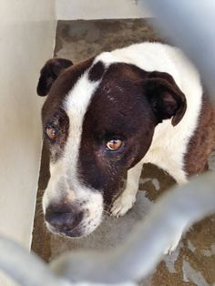 Sweet STAR was surrendered to the shelter by her family and she is not doing well in the kennel. She is already spayed, likes kids and other dogs and she is available now. Please take a look at her and SHARE, a FOSTER would save this senior's life. Thanks!  #A4769895 My name is Star https://www.facebook.com/171850219654287/photos/pb.171850219654287.-2207520000.1414166461./315373375301970/?type=3&theater
