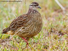 African Bird Club South African Birds, Club, Animals, Animales, Animaux, Animal, Animais