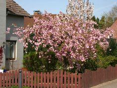 Japanische Hänge-Nelkenkirsche - Prunus serrulata 'Kiku-shidare-Zakura'