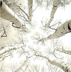 """❖Blanc❖ Soaring white Birch trees sky """"Silver Birch"""" photograph by Adam Brock by Plum leaves on Flickr"""