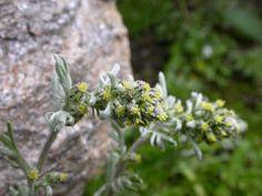 Artemisia umbelliformis Alpine Wormwood. ... CONDIMENT ... TEA ... from plants!