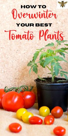 """You don't have to watch your tomato plants die once the cold weather sets in! Overwinter them! Yep, you can keep your tomato plants alive all winter and then plant them outdoors again in the spring! Check out """"How to Overwinter Your Best Tomato Plants""""! Tips For Growing Tomatoes, Growing Herbs, Growing Vegetables, Grow Tomatoes, Organic Gardening Tips, Organic Fertilizer, Gardening Hacks, Vegetable Gardening, Tomato Trellis"""