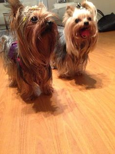 Yorkshire terrier toy lima