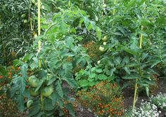 Tomatenanbau in Mischkultur mit Tagetes