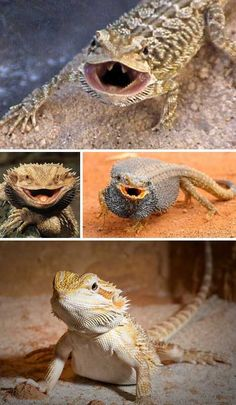 With their gaping mouths, spiny skins and awesomely intimidating threat displays, Bearded Dragons have got the dragon act down pat… except for their size, that is.