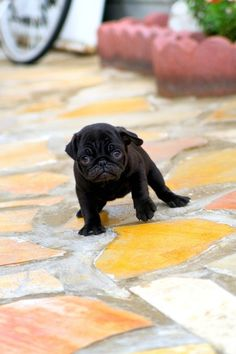 Cute yittle Black Pug Puppy