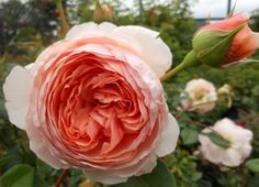 William Morris - A tall shrub with attractive, rather arching growth and glossy foliage. The flowers are of a lovely glowing apricot-pink and of formal rosette shape. It is extremely hardy and reliable, making it an ideal rose for further back in the bord